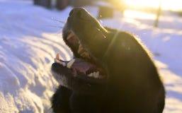 Svart hund som poserar för kamera Arkivfoto