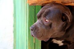 Svart hund som ser från hundkojan arkivfoto