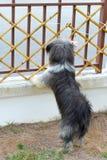Svart hund som ser till och med staketet Royaltyfria Foton