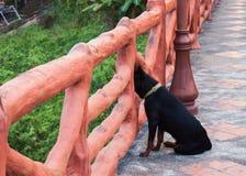 Svart hund som ut ser för den konkreta bron Royaltyfri Bild