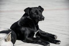 Svart hund som vilar i sol Royaltyfria Foton