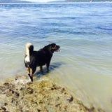 Svart hund vid sjön eller havet med den lockiga svansen Arkivfoton