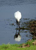 Svart-hövdad ibis i den Ranthambore nationalparken Royaltyfria Bilder