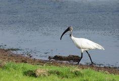 Svart-hövdad ibis i den Ranthambore nationalparken Royaltyfri Foto