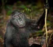 svart indonesia macaque sulawesi Arkivfoton
