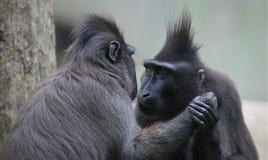 Svart innehavhand för macaque två royaltyfri bild