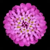 svart isolerad pink för blommahuvud iberis Fotografering för Bildbyråer