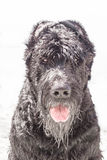 svart jätte- schnauzer Royaltyfri Foto