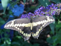 Svart jätteSwallowtail fjäril på den purpurfärgade blomman för Buddleiasvartnatt Royaltyfri Foto