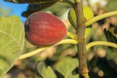 Svart Jack Smyrna fikonträd i sydliga Kalifornien U royaltyfri fotografi