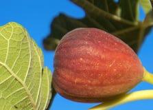 Svart Jack Smyrna fikonträd i sydliga Kalifornien U arkivbilder