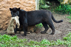 svart jaguar Fotografering för Bildbyråer