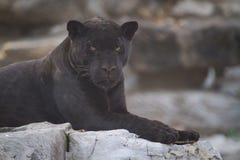 svart jaguar Royaltyfria Foton