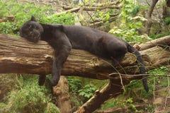 svart jaguar Royaltyfria Bilder