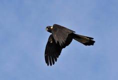 svart kakadua royaltyfri foto