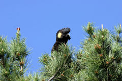 svart kakadua Arkivfoton