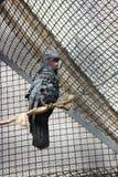 Svart kakadua på zoo Arkivfoton
