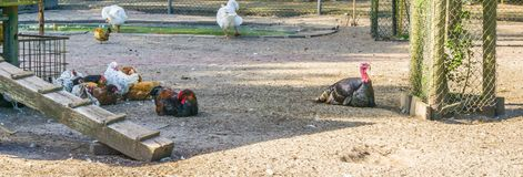 Svart kalkon med en grupp av hönor på den djura lantgården arkivfoto