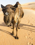 Svart kamel i Rub`-alen Khali Desert Arkivfoto
