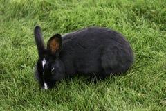 svart kanin Royaltyfria Foton