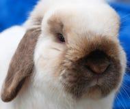 Svart kanin Royaltyfria Bilder