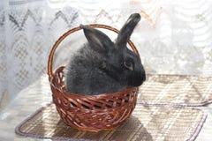 Svart kanin i en vide- korg Arkivbild