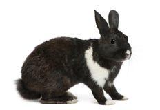 svart kaninwhite Royaltyfri Foto