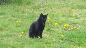 Svart katt i ett fält av maskrosor Royaltyfria Bilder