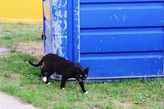 svart katt med calipsoögon Royaltyfri Bild