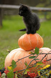 Svart katt med en pumpa Royaltyfri Foto