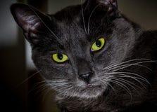 Svart katt med glödande gröna ögon Närbild av en rov- framsida royaltyfri foto