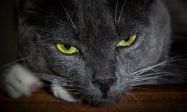 Svart katt med glödande gröna ögon Närbild av en rov- framsida royaltyfri fotografi
