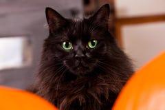 Svart katt med gröna ögon Royaltyfri Fotografi