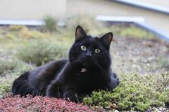 Svart katt med intensiv blick Royaltyfri Fotografi