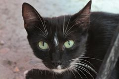 Svart katt med turkosögon arkivfoton