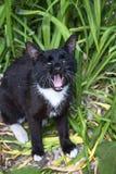 Svart katt med vita morrhårgäspningar som har öppnat brett en mun royaltyfria foton