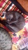 Svart katt som fridfullt sover Arkivbild