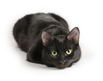 Svart katt som ligger på en vit bakgrund som ser kameran Royaltyfri Fotografi