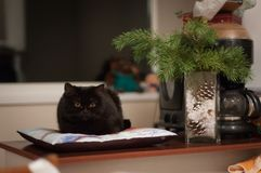 Svart katt som ligger på kudden royaltyfria bilder