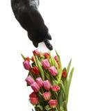 Svart katt som luktar och spelar med röda tulpan och rosblommor Royaltyfri Fotografi
