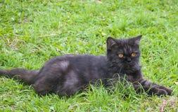 Svart katt som spelar på gräset Arkivfoton