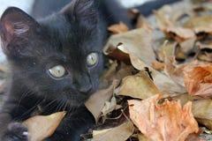 Svart katt som spelar på höstsidorna Royaltyfria Foton