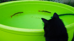Svart katt som stirrar på fiskarna Arkivbild