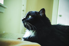 Svart katt som ut ser ett fönster Arkivfoton