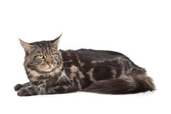 svart kattcoonmaine tabby Arkivfoton