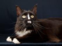 svart kattcoonmaine white Royaltyfria Foton