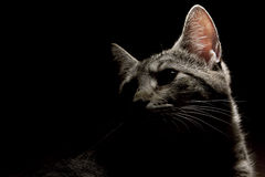 svart kattgrey Arkivfoto