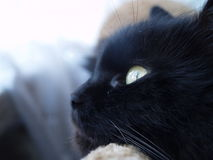 Svart katts stående Royaltyfri Foto