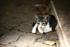 svart kattståendewhite Royaltyfria Foton