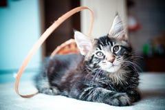 Svart kattunge för strimmig kattfärgMaine tvättbjörn Arkivfoto